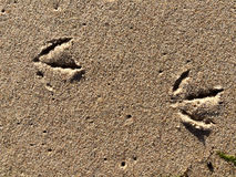 Tracks of a gull in sand Stock Image