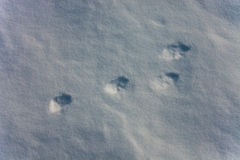 Tracks of hares in the fresh snow. Four paws trail. Mountain hares in winter in Tajikistan Stock Photography