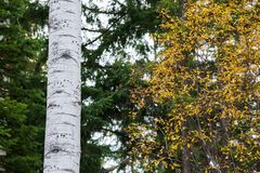 Tracks and marks on a Poplar tree made by a bear climbing it stock photo