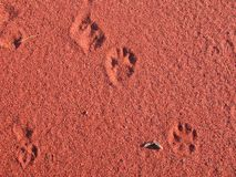Dingo Tracks in the Great Sandy Desert, Western Australia. royalty free stock image