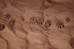 Tracks of a raccoon. Stock Photos