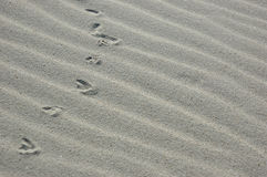 Tracks in the sand. Bird tracks in the sand royalty free stock photo