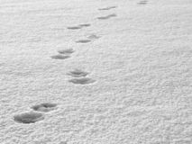 Tracks in the snow. Animal Tracks in the white untouched snow royalty free stock images