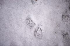 Footprints in the snow. Fingerprint of cats. Paws of an animal. Winter background. imprint paws. stock images