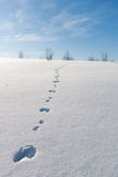 Tracks in snow. Rabbit tracks leading uphill in brilliant white snow Royalty Free Stock Photography