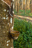 Tracks tapping rubber trees Stock Images
