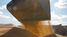 Tracktor que vierte el grano cosechado del maíz en una pila almacen de video