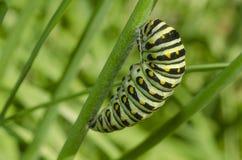 Tracteur à chenilles noir de Swallowtail Polyxenes de Papilio photos stock