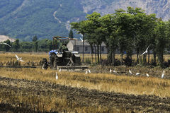 Tracteur dans la charrue, hérons en forageant Photographie stock libre de droits