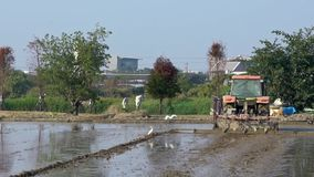 Tracteur de mouvement lent labourant le gisement de riz avec les hérons blancs pilotant la campagne banque de vidéos