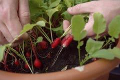 Traction des radis frais Images stock