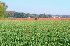 Tractor afield in Holland that the truncated tulip Stock Image