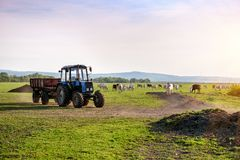 Tractor And Cows On The Farm Stock Image