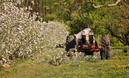 Tractor in apple orchard. With blooming flowers, summer scene Royalty Free Stock Photo