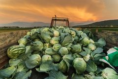 Tractor charged with harvested cabbages to transport them to mar. Ket Stock Photos