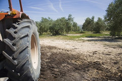 Tractor in the collection of olives in fields of Jaen Stock Photo