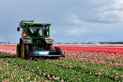 Tractor cutting the tulips. Flower field and man in the tractor cutting the last tulips Stock Photo