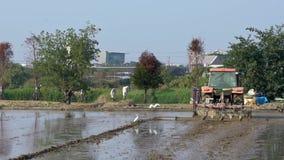 Tractor de la cámara lenta que ara el campo del arroz con las garzas blancas que vuelan el campo metrajes