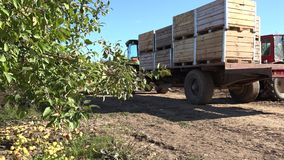 Tractor drive with wooden box full of apple harvest. 4K stock video