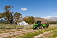 A tractor driving through lavender fields. A scenic view of a green tractor driving on a gravel road between lavender fields after harvesting with mountains in Royalty Free Stock Photo