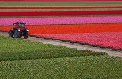 Tractor en el campo de los tulipanes Imágenes de archivo libres de regalías