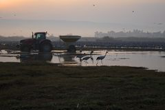 The tractor feeds and migratory birds at dawn. Large birds royalty free stock photo