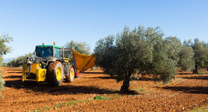 Tractor harvesting  black olives at agricultural plant Royalty Free Stock Images