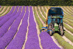 Tractor harvesting field of lavender Stock Images