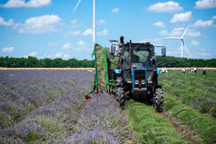 Tractor harvesting field of lavender Royalty Free Stock Images