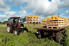 Tractor loading pumpkins Stock Image
