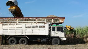 Tractor machinery and truck harvest sugarcane stock video