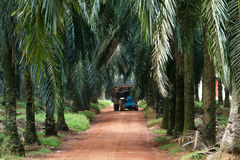Tractor  in oil palm plantation Stock Images