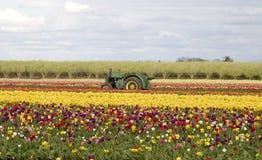 Tractor op de tulpengebieden Stock Afbeelding