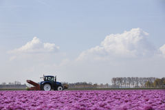 Tractor in pink tulip landscape in the netherlands Royalty Free Stock Photography
