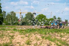 A tractor plows the field on a bright Sunny day. Rural spring landscape. Flocks of birds follow directly behind a tractor, plowing the field. They find Stock Images