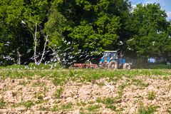 A tractor plows the field on a bright Sunny day. Rural spring landscape. Flocks of birds follow directly behind a tractor, plowing the field. They find Stock Photo