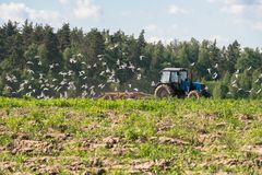 A tractor plows the field on a bright Sunny day. Rural spring landscape. Flocks of birds follow directly behind a tractor, plowing the field. They find Stock Photography