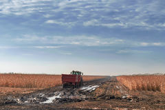 Tractor que cultiva en campo de maíz Agricultura c de la cosecha del campo de maíz Fotografía de archivo
