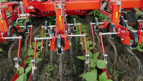 Tractor removes weeds from rows of sunflowers. Environmentally friendly farming without chemicals. stock video