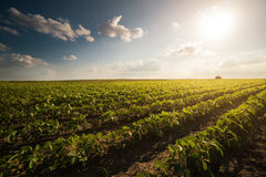 Tractor spraying soybean field at spring Royalty Free Stock Photography
