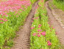 Tractor tire tracks in a colorful field of flowers Stock Photo