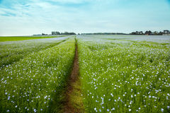 The tractor trace among blooming linen field Royalty Free Stock Image