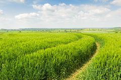 Tractor track through a field. Of grain. English countryside landscape Royalty Free Stock Image
