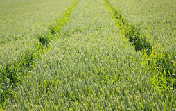 Tractor track through the grain field Royalty Free Stock Photo