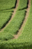 Tractor tracks through crops Royalty Free Stock Photography