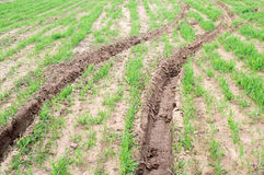 Tractor tracks on green cultivared grass Royalty Free Stock Photos