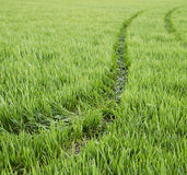 Tractor tracks on ripening wheat field. Spring time Royalty Free Stock Photos