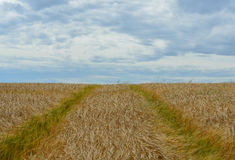 Tractor tracks in a wheat field. Stock Photo