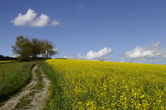 Tractor tracks and yellow field of colza Stock Images