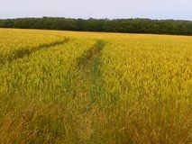 Tractor trail. Crop field tyretracks kent Royalty Free Stock Image